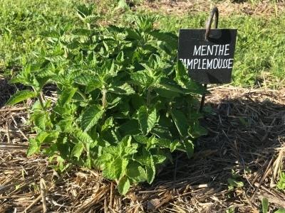 les plantations de menthe pamplemousse dans le jardin du Biopôle de Léa Nature près de La Rochelle